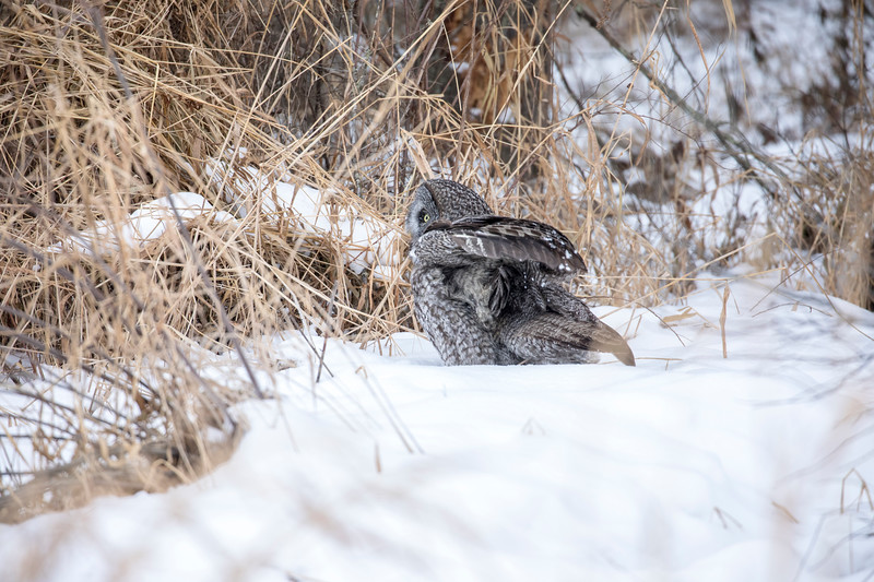 Great Gray Owl 30 (12-20-2017)