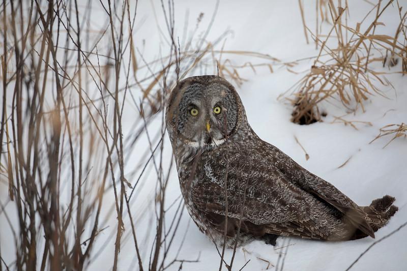 Great Gray Owl 58 (12-20-2017)