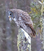 Great Gray Owl 53 (12-20-2017)