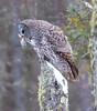 Great Gray Owl 53 (12-20-2017)