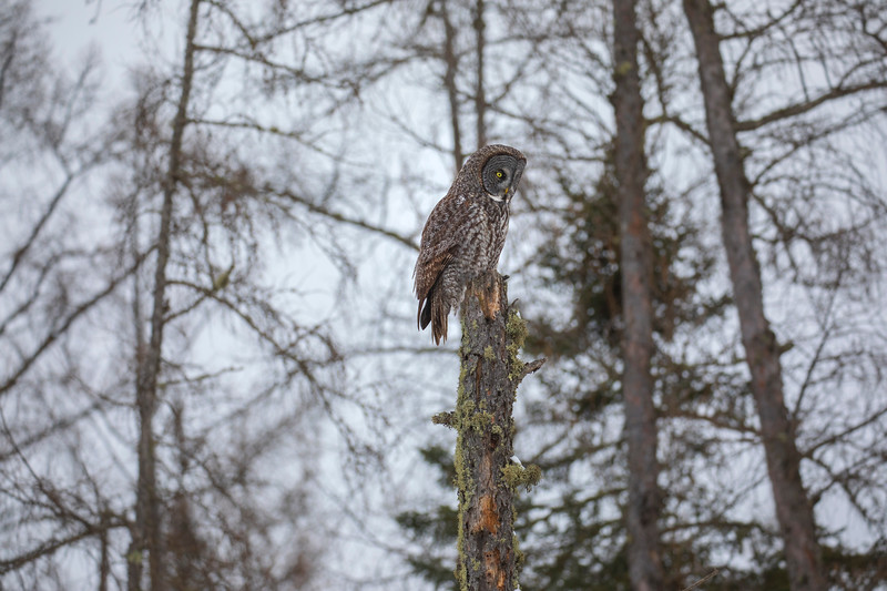 Great Gray Owl 33 (12-20-2017)