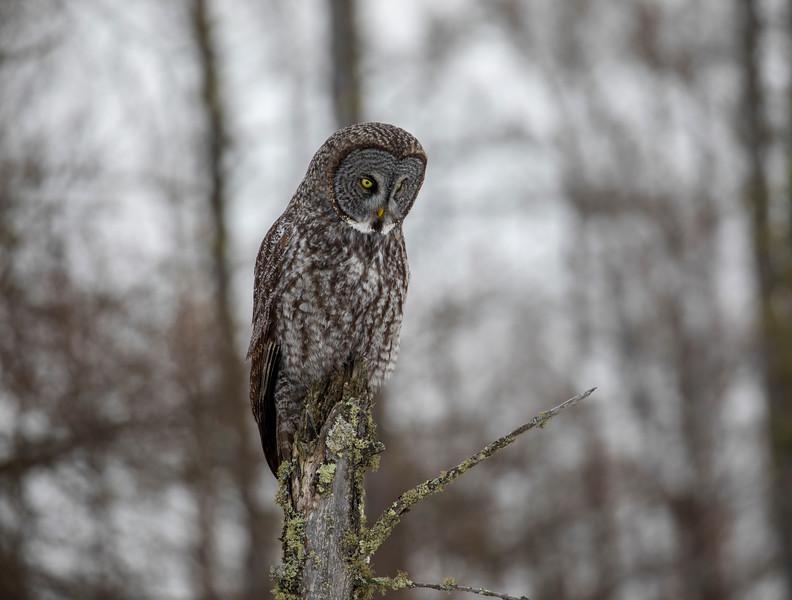 Great Gray Owl 61 (12-20-2017)