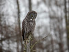 Great Gray Owl 61 (12-20-2017)
