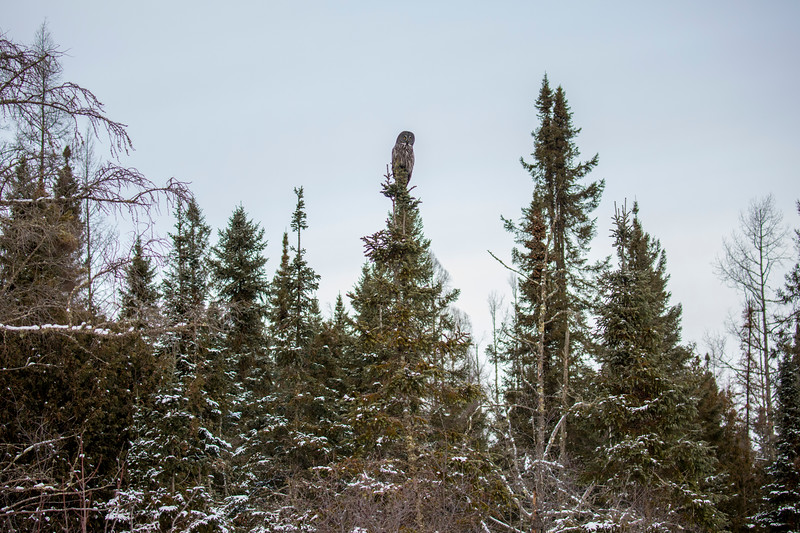 Great Gray Owl 3 (12-20-2017)