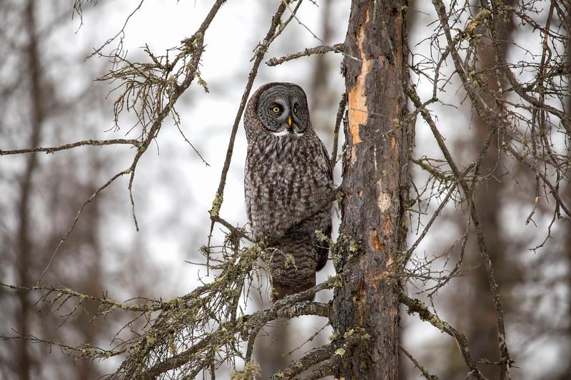 Great Gray Owl 79 (12-20-2017)