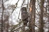 Great Gray Owl 79 (12-20-2017)