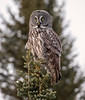 Great Gray Owl 18 (12-20-2017)