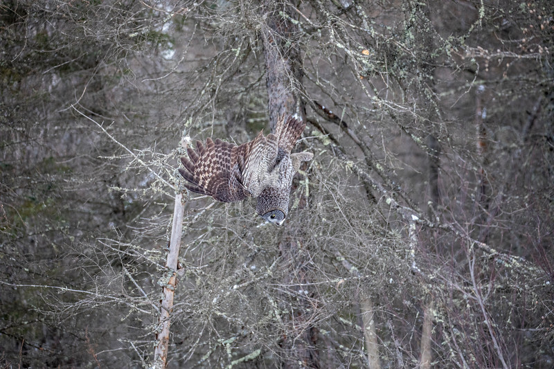 Great Gray Owl 28 (12-20-2017)