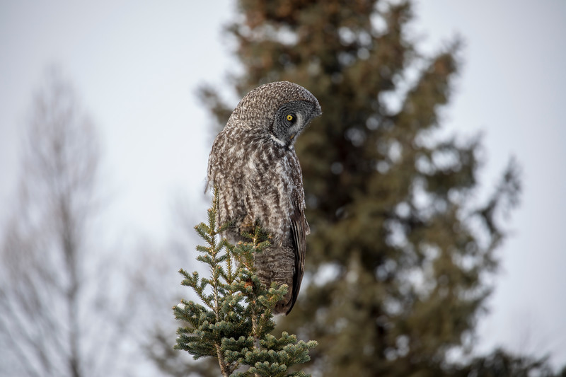 Great Gray Owl 20 (12-20-2017)