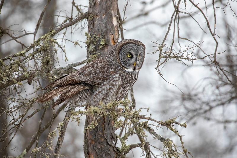 Great Gray Owl 72 (12-20-2017)
