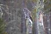 Great Gray Owl 46 (12-20-2017)