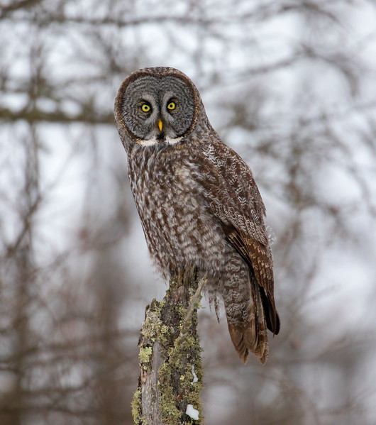 Great Gray Owl 65 (12-20-2017)