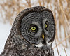 Great Gray Owl 60 (12-20-2017)
