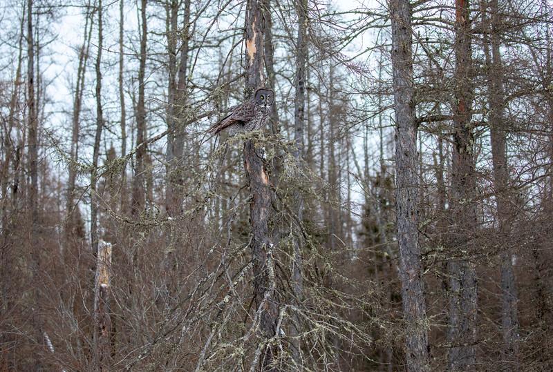 Great Gray Owl 6 (12-20-2017)