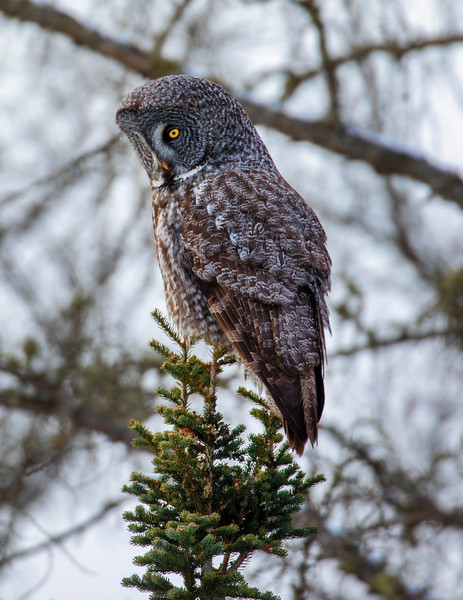Great Gray Owl 13 (12-20-2017)