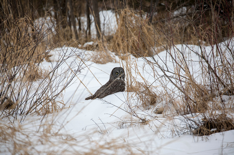 Great Gray Owl 31 (12-20-2017)