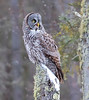 Great Gray Owl 57 (12-20-2017)