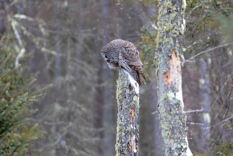 Great Gray Owl 52 (12-20-2017)