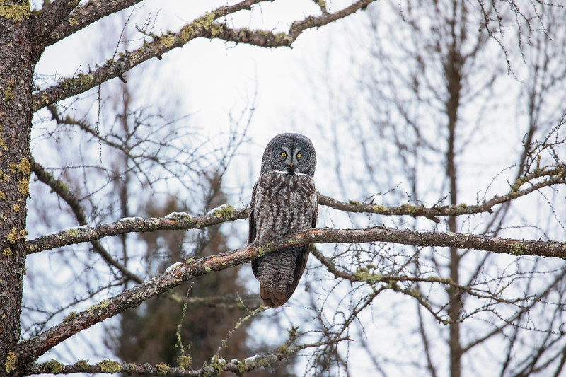 Great Gray Owl 1 (12-20-2017)