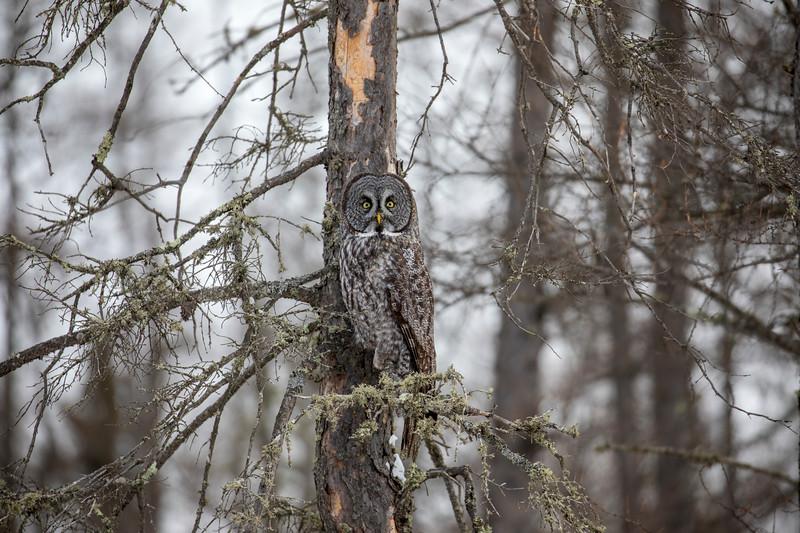 Great Gray Owl 69 (12-20-2017)