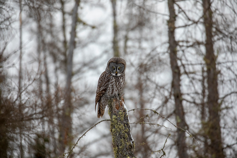 Great Gray Owl 41 (12-20-2017)