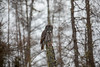 Great Gray Owl 41 (12-20-2017)
