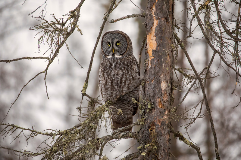 Great Gray Owl 81 (12-20-2017)