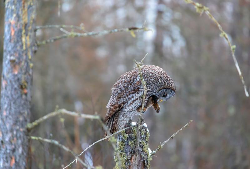 Great Gray Owl 35 (12-20-2017)