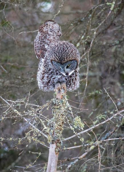 Great Gray Owl 24 (12-20-2017)
