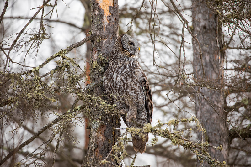 Great Gray Owl 67 (12-20-2017)