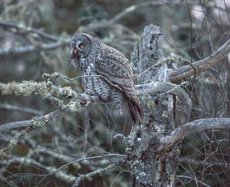 Great Gray Owl 23 (12-7-2017)