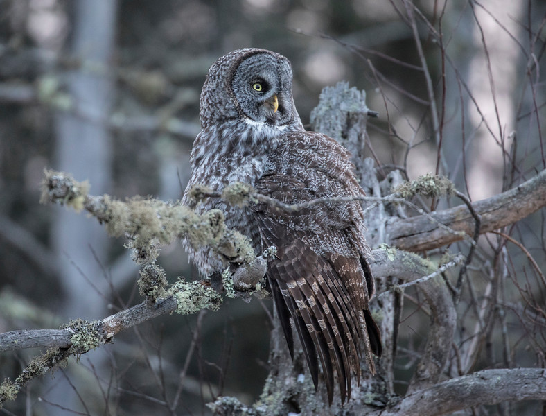 Great Gray Owl 14 (12-7-2017)