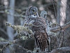 Great Gray Owl 14 (12-7-2017)