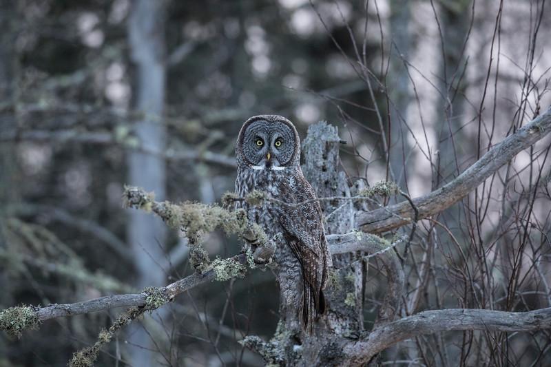 Great Gray Owl 11 (12-7-2017)