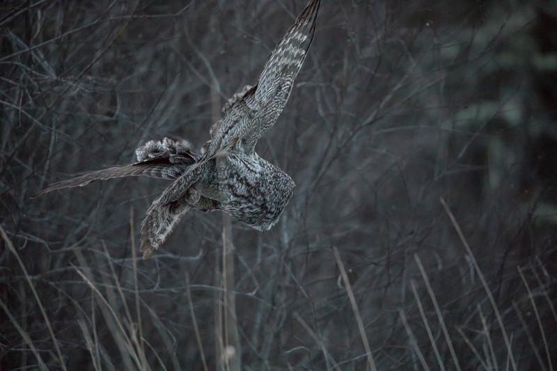 Great Gray Owl 21 (12-7-2017)