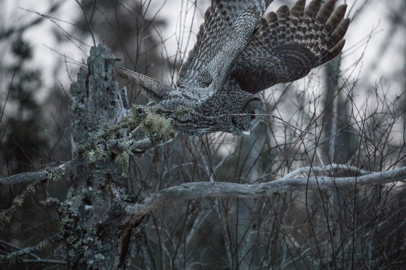 Great Gray Owl 17 (12-7-2017)