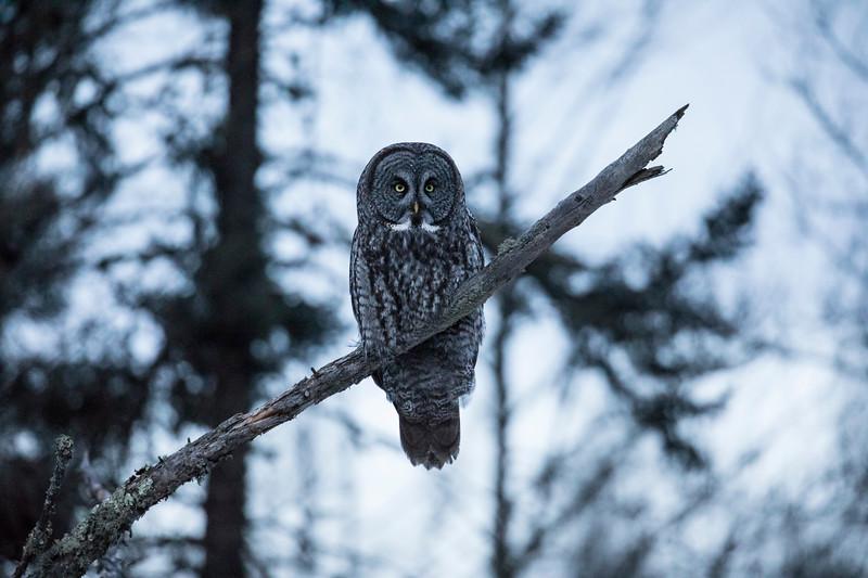 Great Gray Owl 3 (12-7-2017)