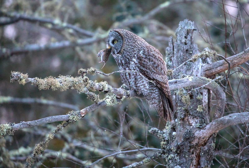 Great Gray Owl 25 (12-7-2017)