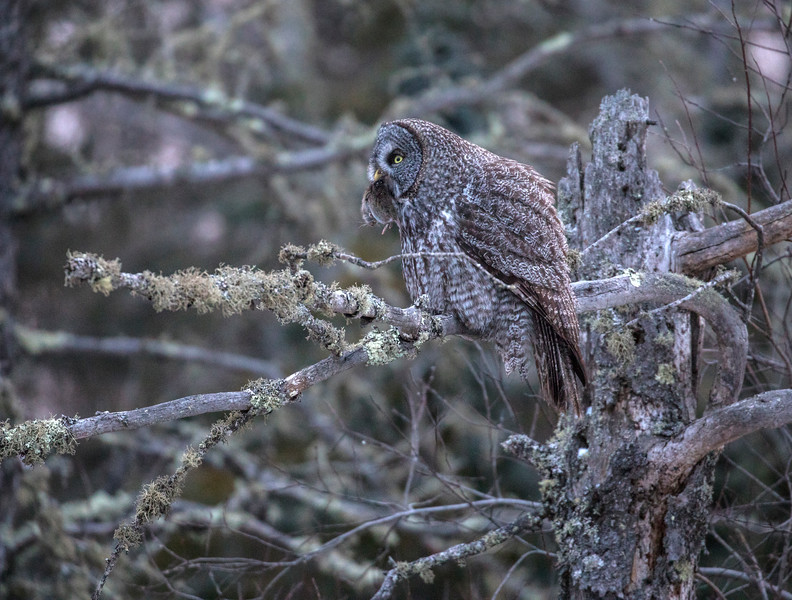 Great Gray Owl 26 (12-7-2017)