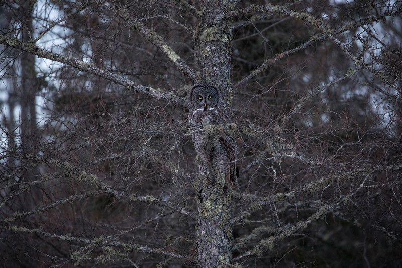 Great Gray Owl 8 (12-7-2017)