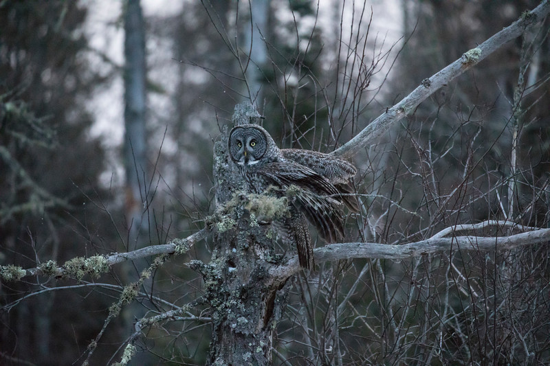 Great Gray Owl 10 (12-7-2017)