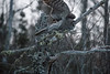 Great Gray Owl 16 (12-7-2017)