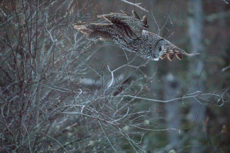 Great Gray Owl 19 (12-7-2017)