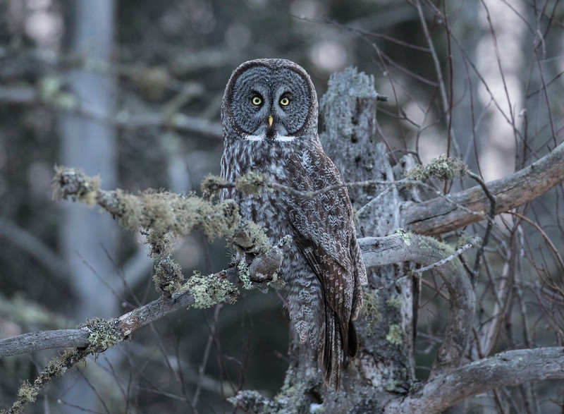 Great Gray Owl 11b (12-7-2017)