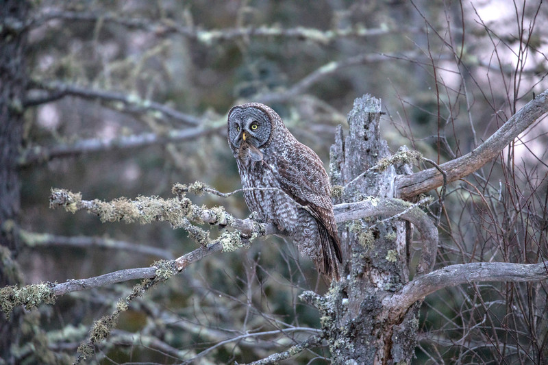 Great Gray Owl 24 (12-7-2017)