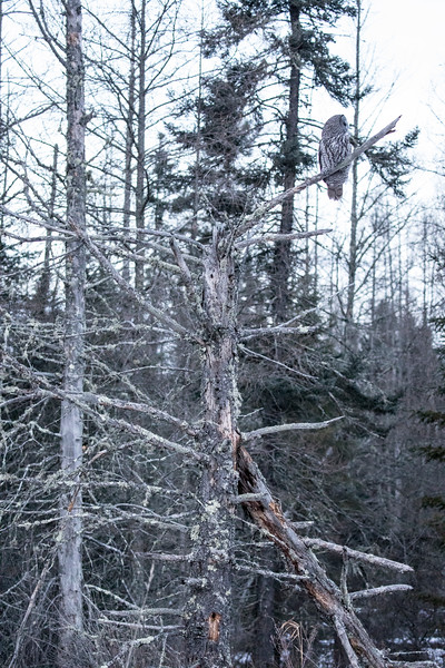 Great Gray Owl 1 (12-7-2017)
