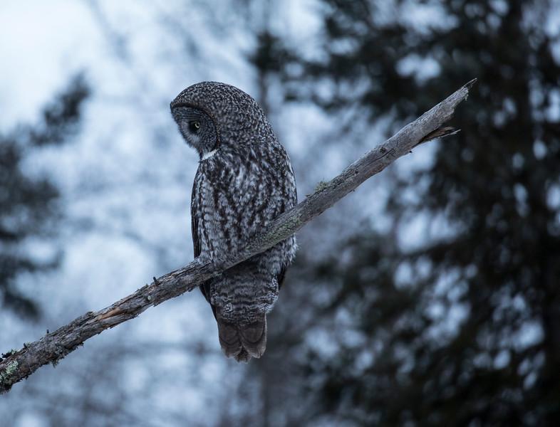 Great Gray Owl 6 (12-7-2017)