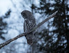 Great Gray Owl 6 (12-7-2017)