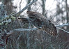 Great Gray Owl 18 (12-7-2017)