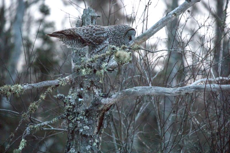 Great Gray Owl 15  (12-7-2017)